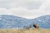 mammals, bull elk bugling near a pronghorn buck