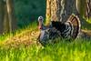 Birds, turkeys, wild turkeys, spring