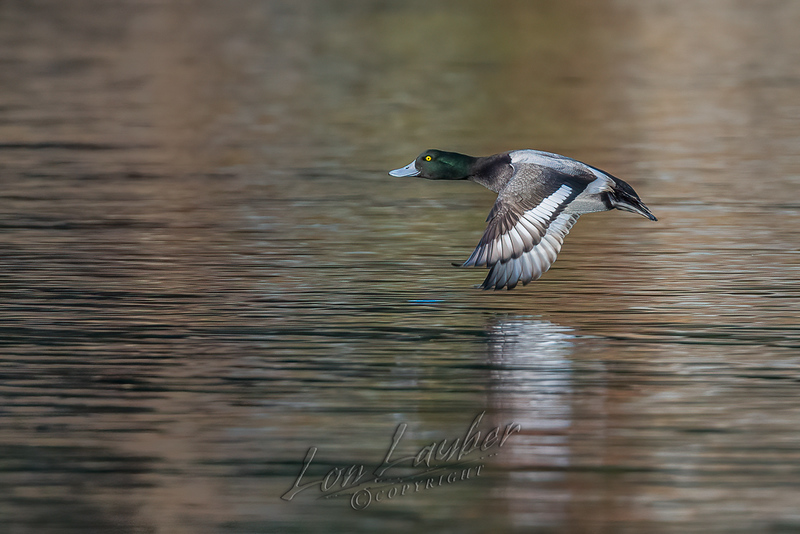 Birds, waterfowl, greater scaup