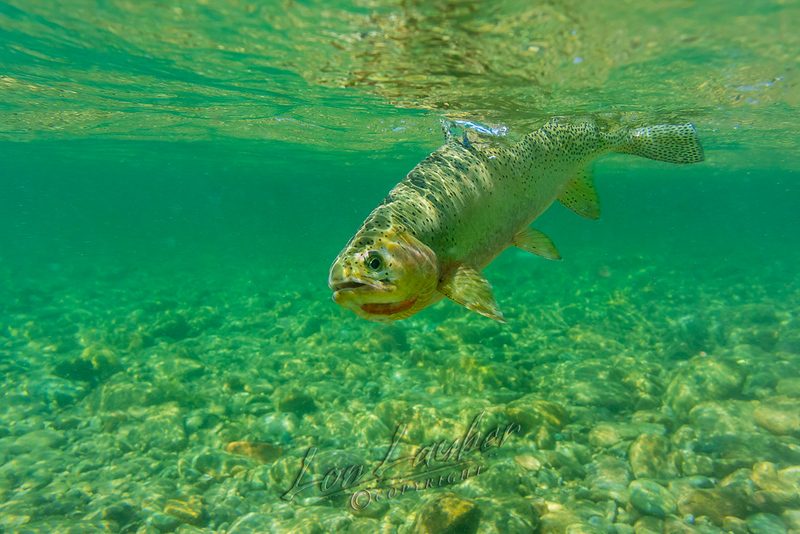 Fish, fishes, cutthroat trout, underwater,
