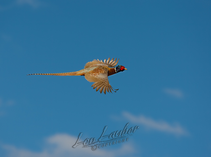 Upland game birds, rooster pheasant, flying, in flight, flushing