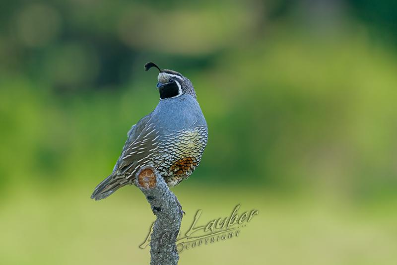 Birds, California quail, male on a perch
