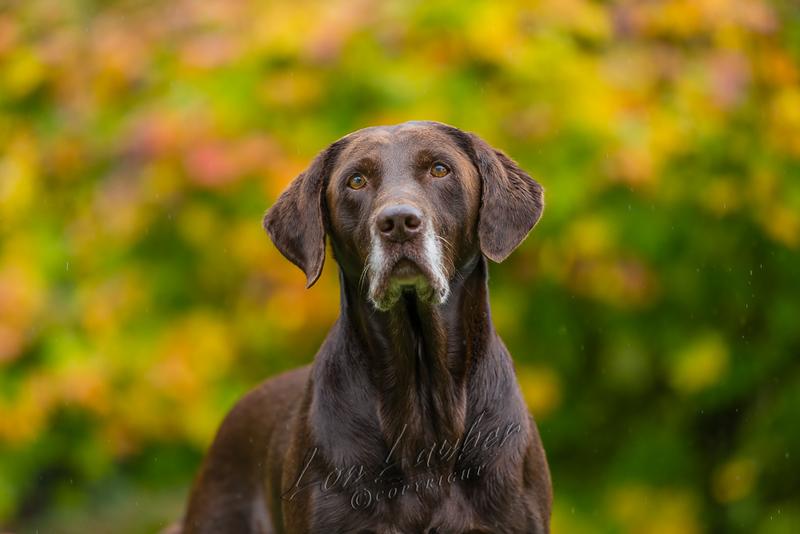 Mammals, dogs, Labrador retriever, chocolate lab, Rider