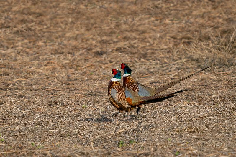 Birds, upland birds, pheasants