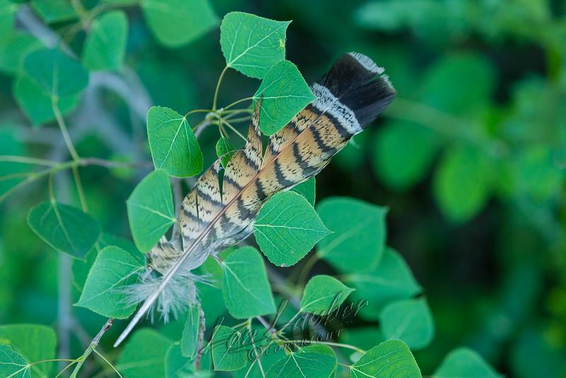 Birds, upland game birds, ruffed grouse feather, aspen tree