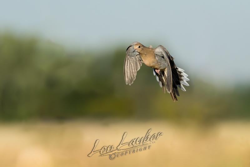 Birds, morning dove, in flight, flying