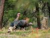Birds, wild turkeys, autumn