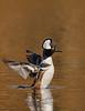 Birds, waterfowl, ducks,  hooded merganser