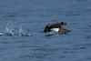 Birds, waterfowl, white winged scoter, sea duck