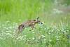 Mammals, big game, pronghorn, fawn, wildlife