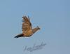 Birds, upland game birds,  California quail, valley quail, flying, inflight, female, hen,