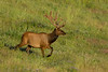 Mammals, Rocky Mountain elk, wildlife