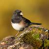 Birds, passerines, dark eyed junco, wildlife