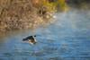 Birds, upland game birds, Hungarian partridge inflight