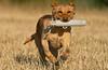 Mammals, dogs, yellow Labrador retriever, retrieving a dummy or
