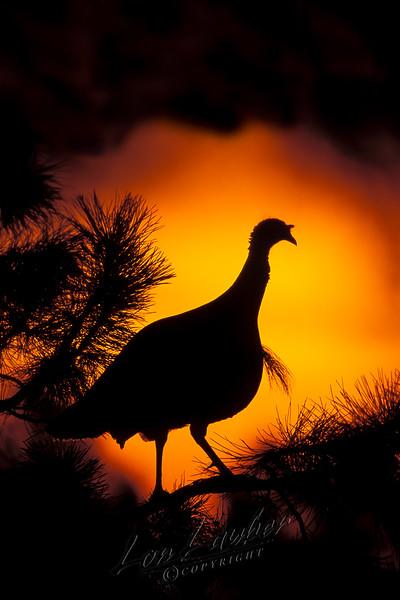 Wild turkey, tom, gobbler, roosting, sunrise, Merriams subspecies