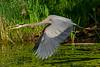 Birds, great blue heron, wildlife
