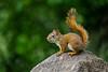 Mammals, red squirrel, wildlife