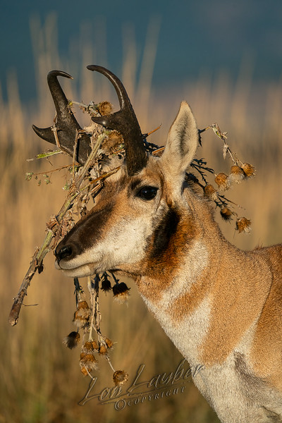 Mammals, pronghron antleope buck with weeds in horns