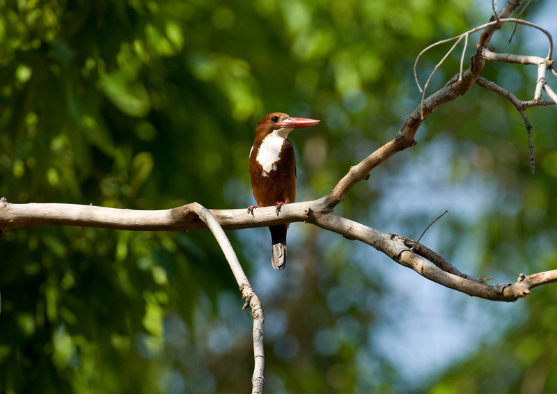 While we were photographing Machali, this kingfisher landed on a branch above us. Mind you, we were parked in the middle of the stream, probably where it had been hunting.