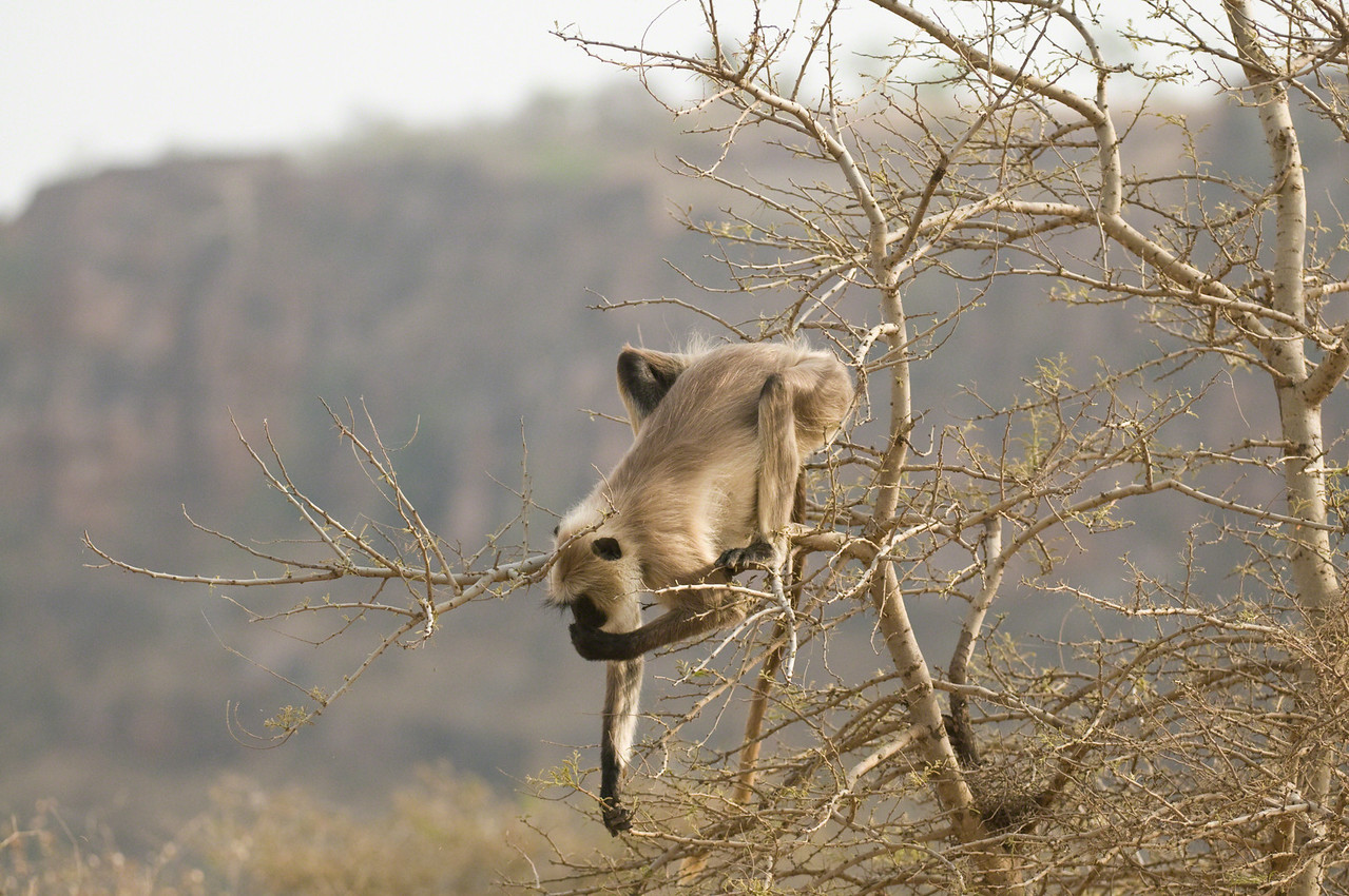 Mature Langur balancing almost beyond belief while taking shoots from lower branches. Ranthambhore, Rajastan, India