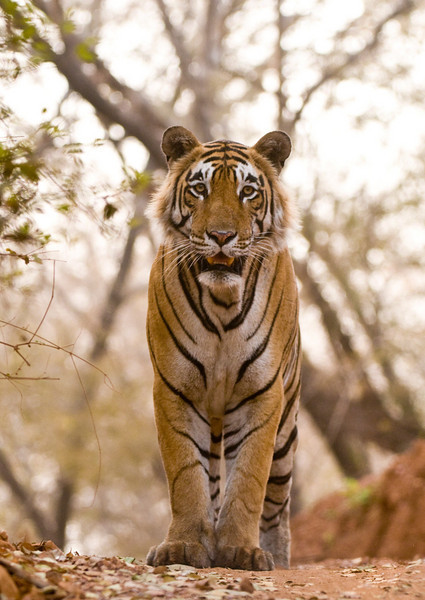 Star Male (T28), eyeing with dismay, the jam of jeeps jockeying for position. This tiger is truly massive! Taken at Ranthambhore, Rajastan, India