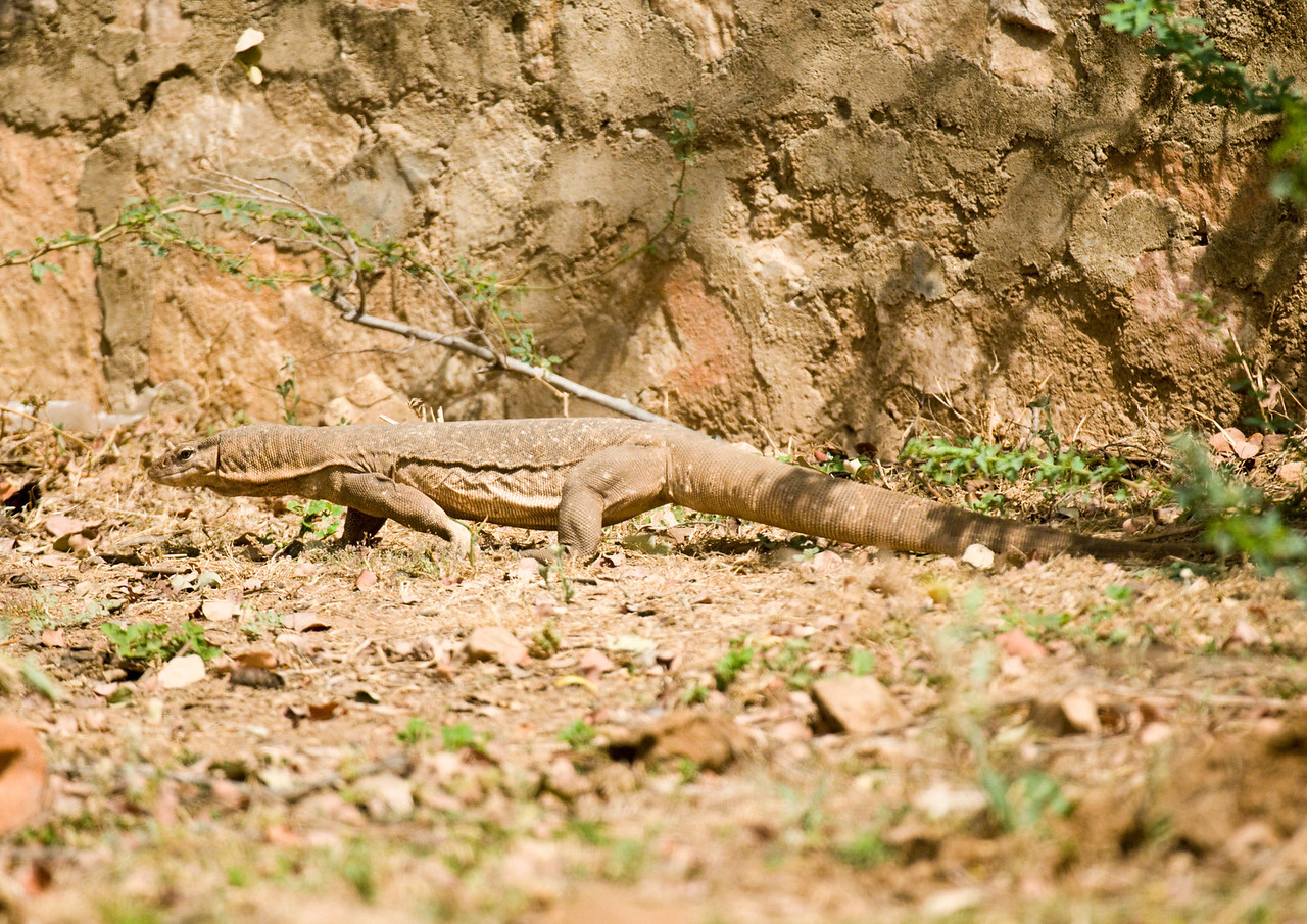 Monitor lizard taken just after we spotted it trying to cross the main road near the hotel. It narrowly missed getting run over by a truck. At a guess, just over a metre long.