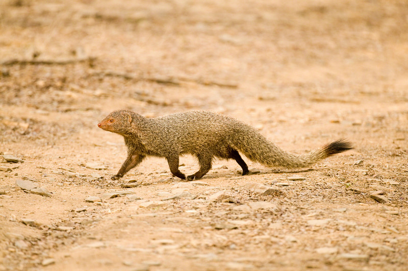 Black tailed mongoose (?) taken near the lakes in zone 3. What a handsome chap!