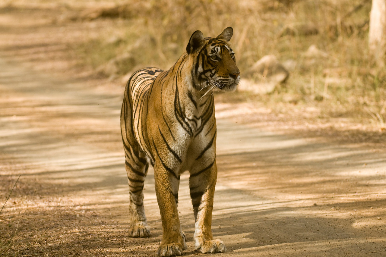 T19, the third daughter of T16, Machali (t17 at the Lakes, T18 moved to Sariska, T19 in Zone 2).