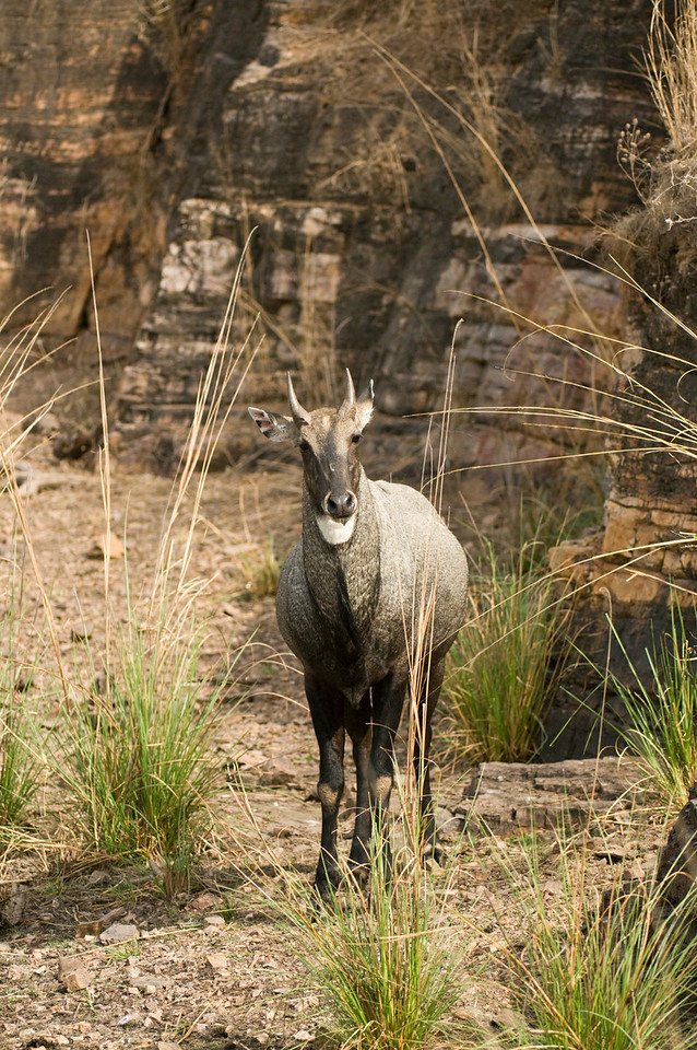 Nilgai, Blue Bull male after drinking at the Raj Bagh lake in Ranthambhore, Rajastan, India