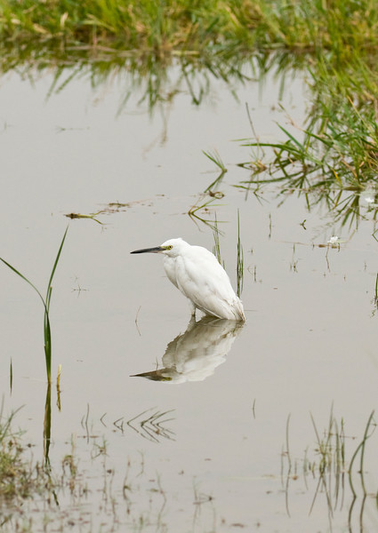 An Egret resting at the edge of a lake in Ranthambhore.