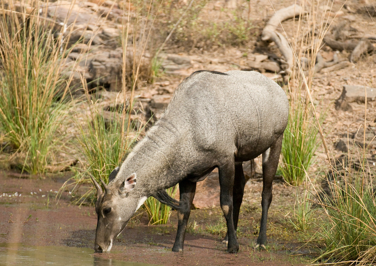 Nilgai, Blue Bull male drinking at the Raj Bagh lake in Ranthambhore, Rajastan, India