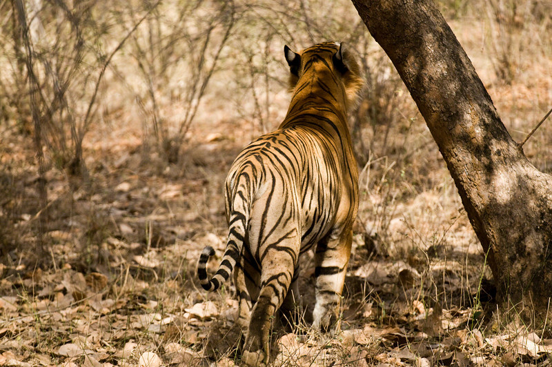 Star Male (T28), sniffing at a tree prior to scent marking. Taken at Ranthambhore, Rajastan, India