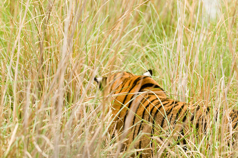 Satra stalking sambar deer through long grass. At times she seemed to disappear completely.