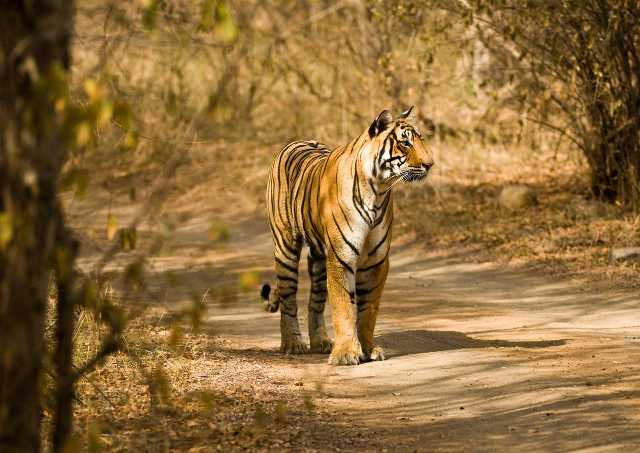 T19 towards the end of her territorial patrol. I think that she is one of the prettiest of the Ranthambhore tigers.
