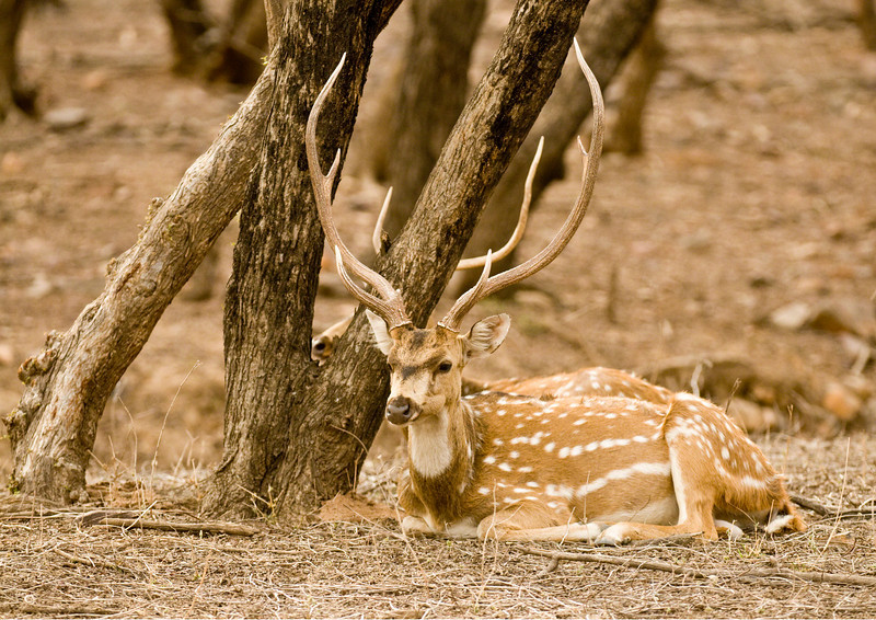Chittal or Spotted Deer stag taken near the lakes in Zone 3, india rajastan ranthambhore