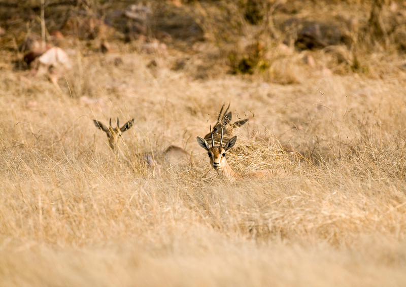 A group of antelope resting in the long dry grass of Ranthambhore.