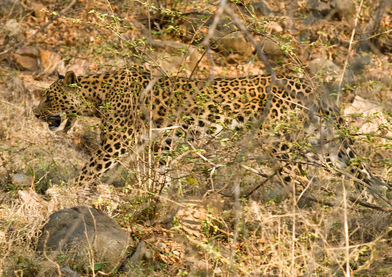 This male leopard came prowling past us and took us completely by suprise. If we had still been watching a Kingfisher in front of the jeep, we would have missed him, he was so quiet. Although leopards aren't rare, I think I'm right in saying that this is probably one of the most unusual shots I got.