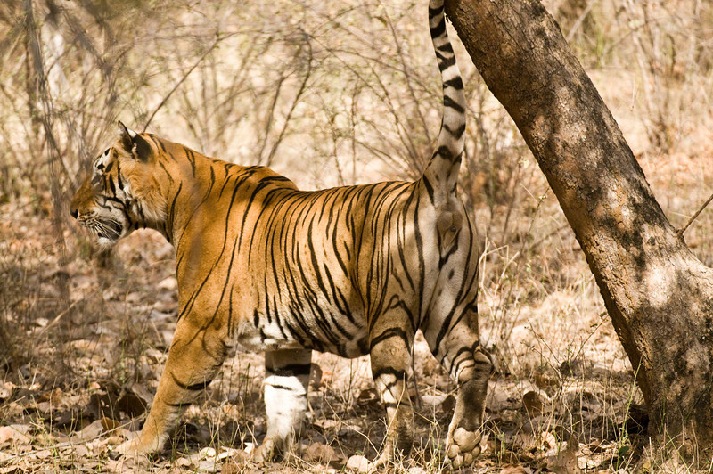Star Male (T28), scent marking. Taken at Ranthambhore, Rajastan, India