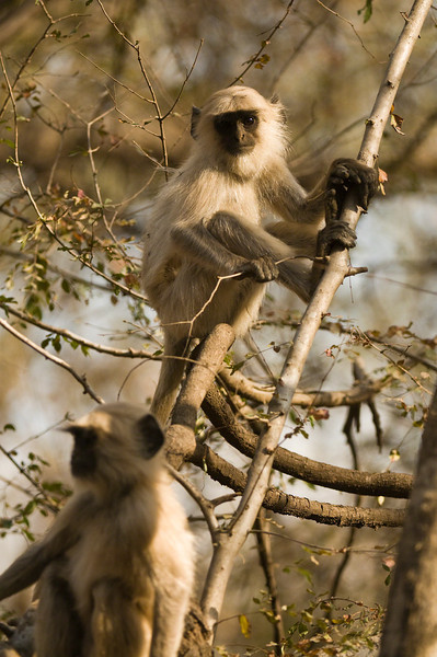 Young Langurs