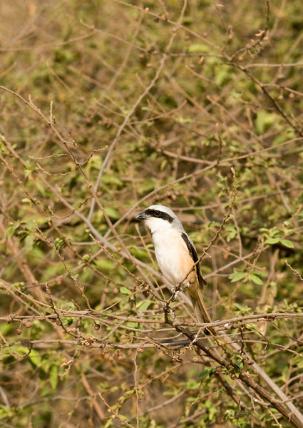 A bird I've never seen before. A shrike, and it was sat only a few feet from us.