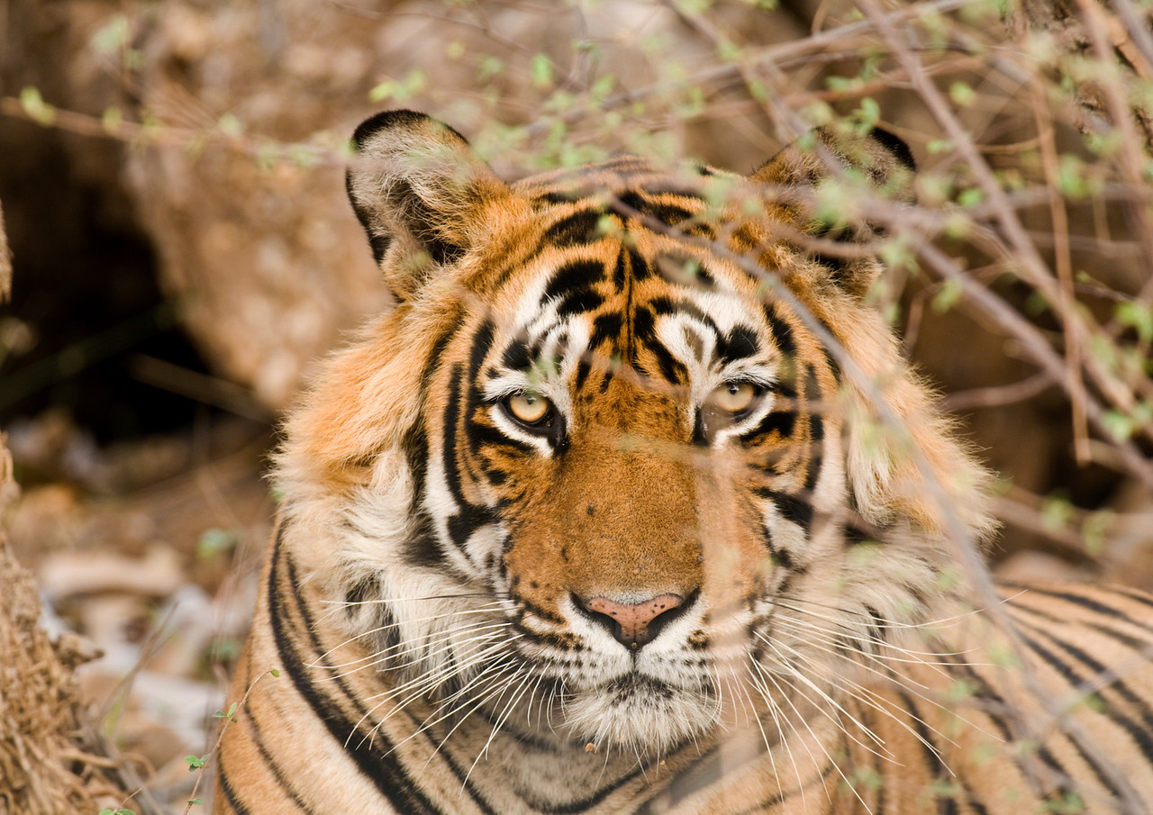 Young male at rest. Taken at Ranthambhore, Rajastan, India