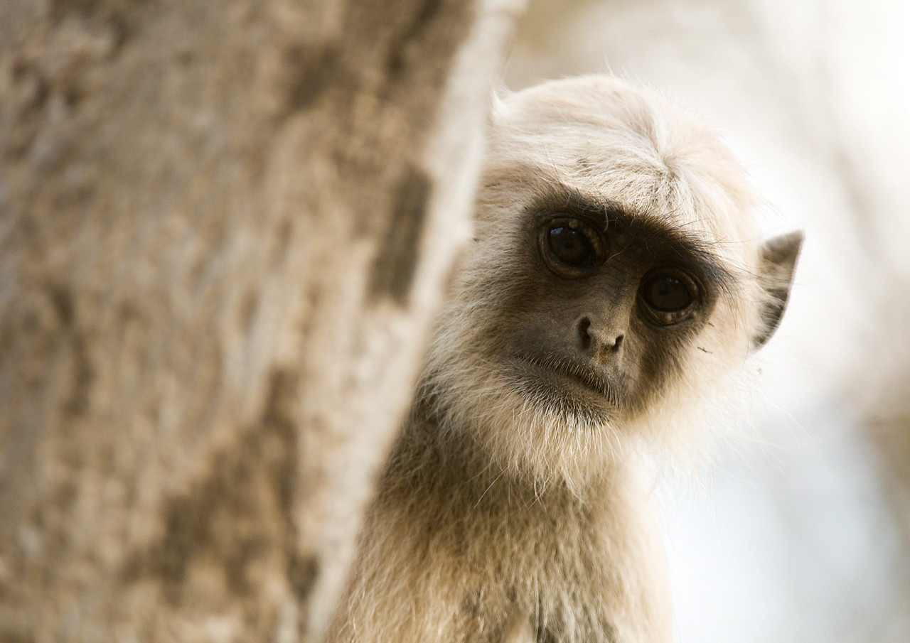 Young langur monkey. They stare at us just as we stare at them.
