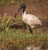 Black-headed Ibis - Keoladeo Bird Sanctuary