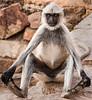 A New  Yoga Pose - Black-Face Langur Monkey - Chittaurgarh