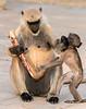 """""""Get your own snack!"""" - Black-Face Langur Monkeys - Chittaurgarh"""