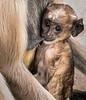Lunchtime - Black-Face Langur Monkey - Chittaurgarh