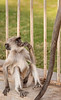 """My what a long tail you have!"" - Black-Face Langur Monkey - Chittaurgarh"