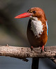 White-throated Kingfisher - Keoladeo Bird Sanctuary