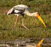 Painted Stork - Keoladeo Bird Sanctuary